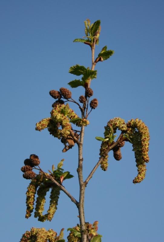 Alnus viridis – Dyrelund L 072