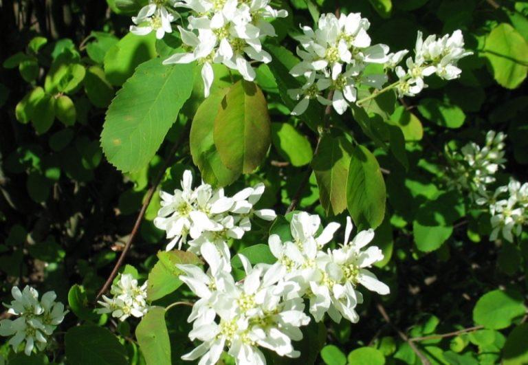 Amelanchier alnifolia – Dyrelund L 099