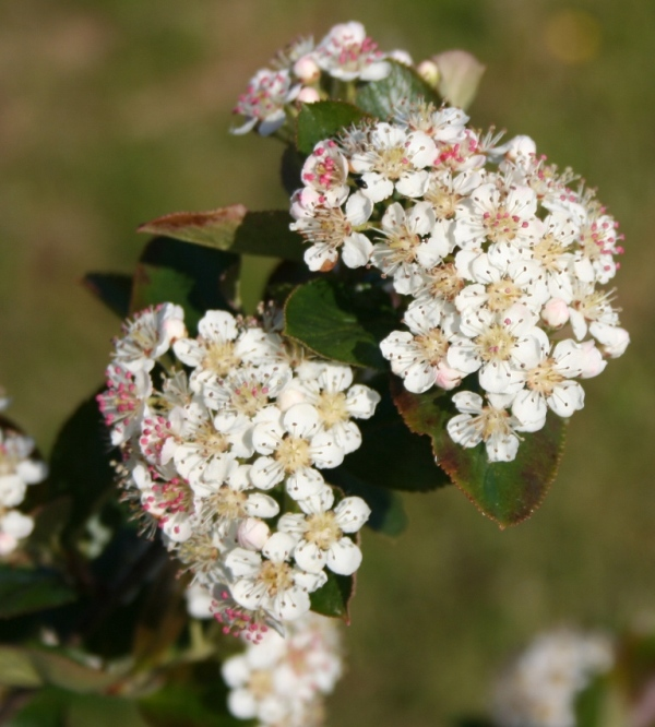 Aronia melanocarpa - Dyrelund L 080
