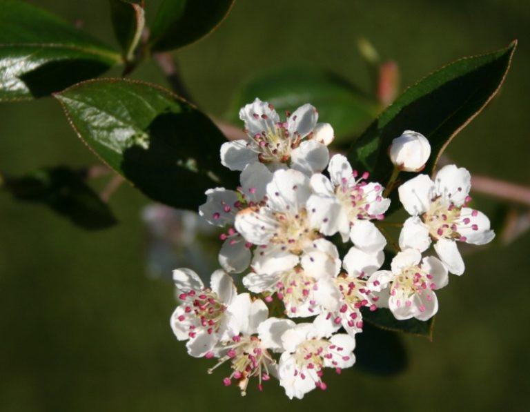 Aronia prunifolia – Dyrelund L 081