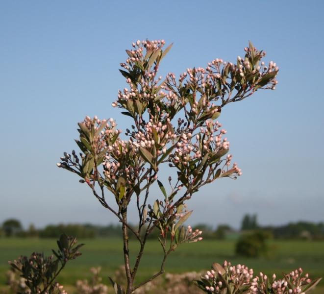 Aronia arbutifolia – Dyrelund