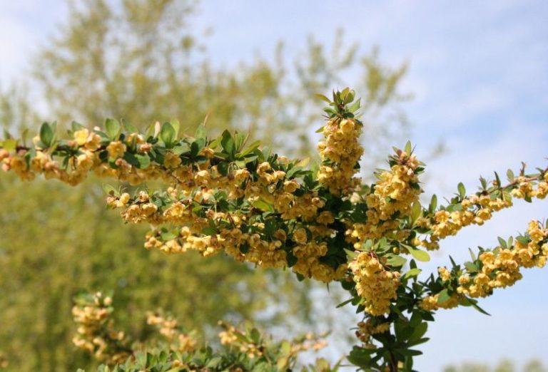 Berberis thunbergii - Dyrelund L 213