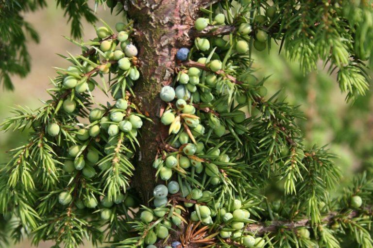 Juniperus communis - Dyrelund L 204